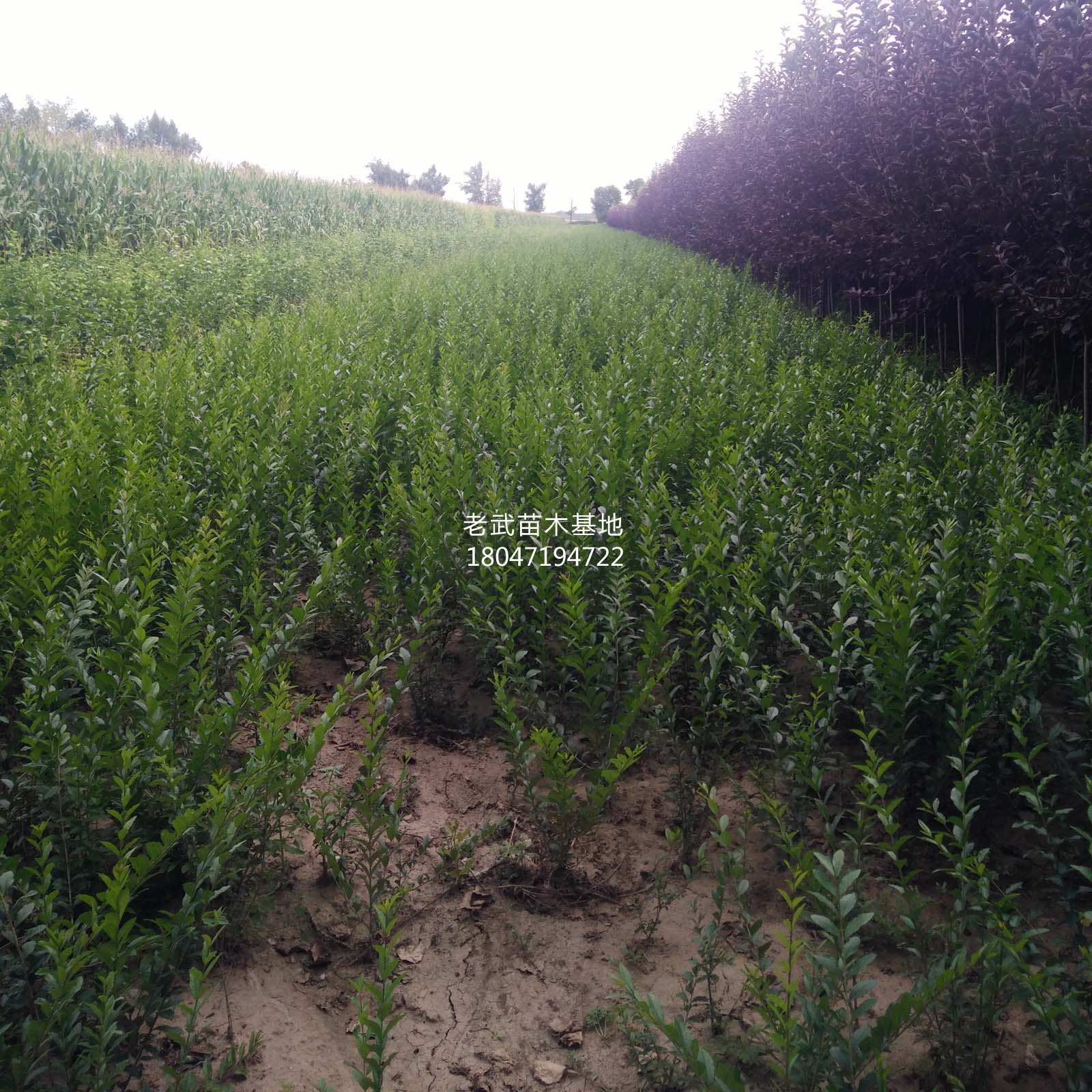 金叶女贞高1~2米,冠幅1.5~2米,价格面议