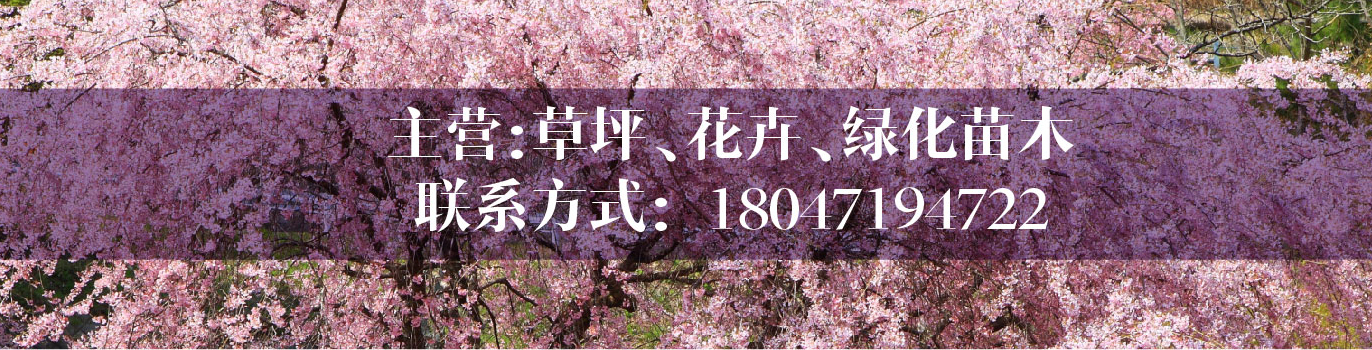 呼和浩特出售各类绿化工程苗木,榆叶梅、女贞、紫叶稠李