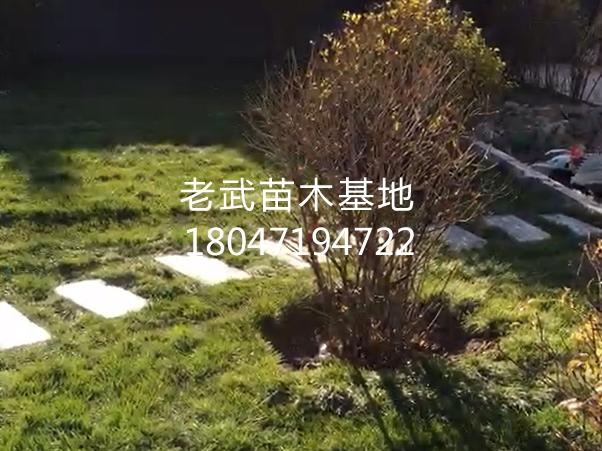 梦之城_某小区院内草坪铺设及苗木绿化工程