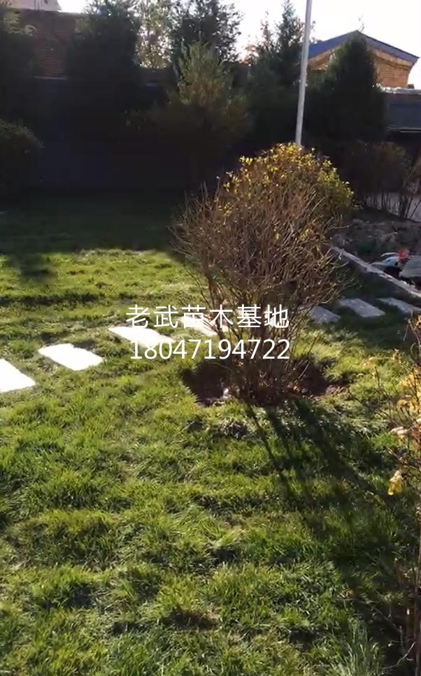 某小区院内草坪铺设及苗木绿化工程