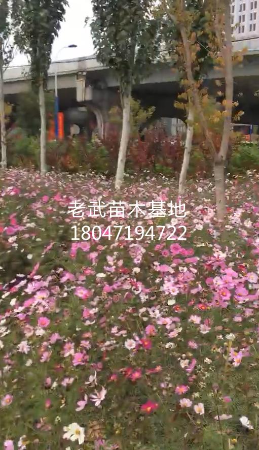 南二环人行歩道波斯菊绿化工程