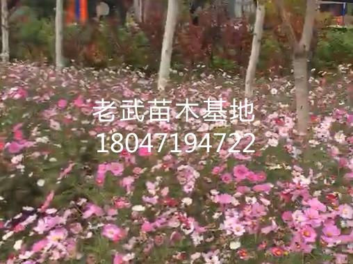 梦之城平台注册【老武苗】_南二环人行歩道波斯菊绿化工程